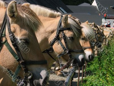 Brown norwegian horses