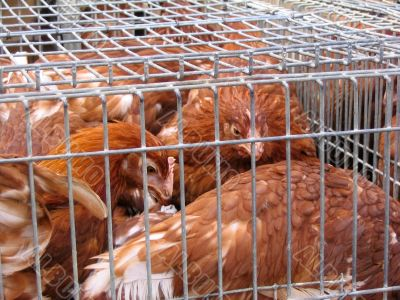 Hens at the market