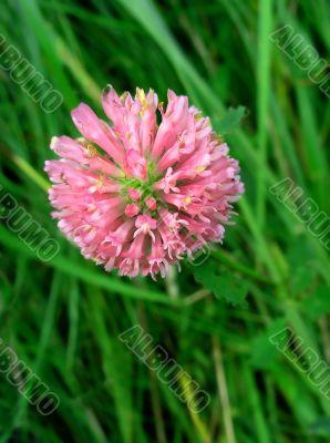 Rosy clover