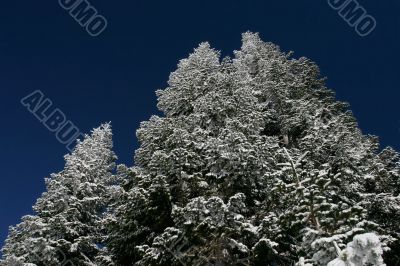 Pine trees covered with snow after a storm