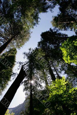 Tall trees in Yosemite