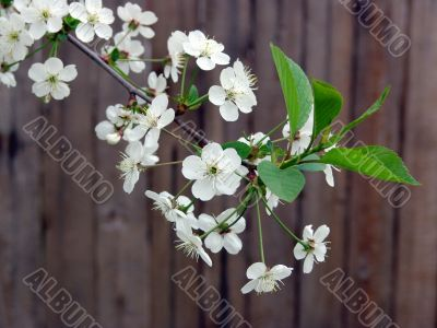 Blossoming cherry on wood background
