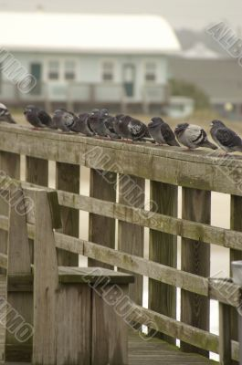 Pigeons lined up on a railing