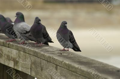 a line of Pigeons on a railing