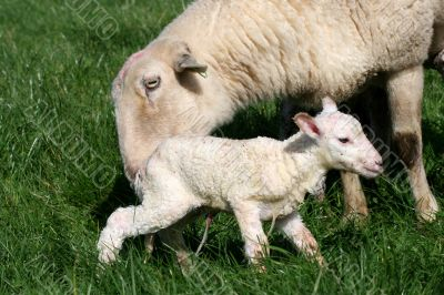 Ewe and Newborn Lamb