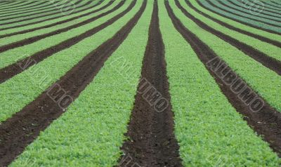 Rows of young vegetables