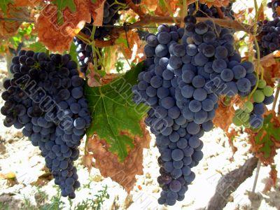 Grapes of the Alentejo region