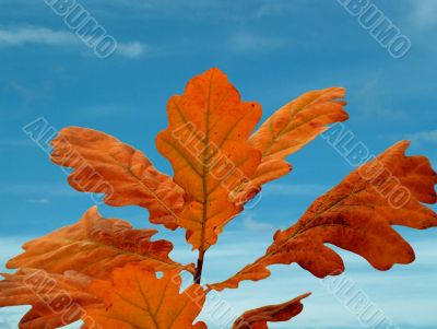 Oak leafs and sky