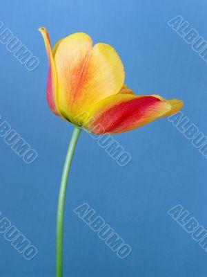Orange tulip on blue