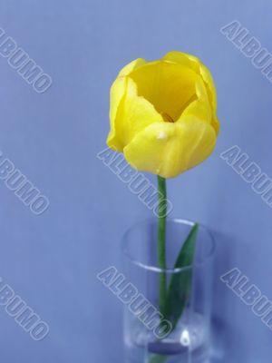 Yellow tulip in glass