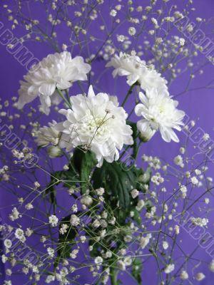 White flowers Chrysanthemum