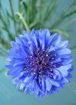 Flower Cornflower