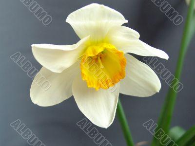 Flower  Narcissus