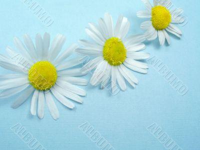 Flowers Ox-eye daisy