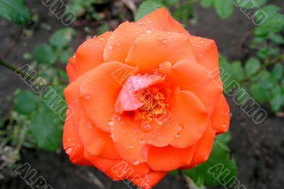 Drops of rain on rose
