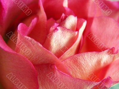 Rosy petals