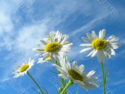 Ox-eye daisy and sky