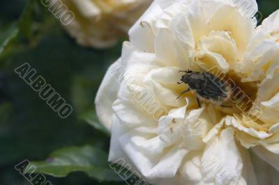 Beetle on rose