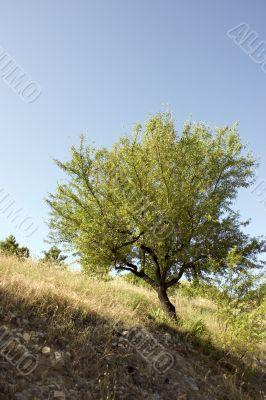 Mediterranean almond tree