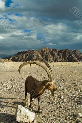 Goat long horns