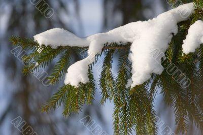 fir bough
