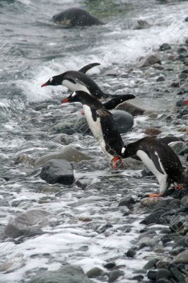 Gentoo penguin, diving into Southern Ocean