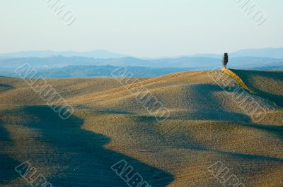 lonely cypress tree in hill - typical tuscan landscape