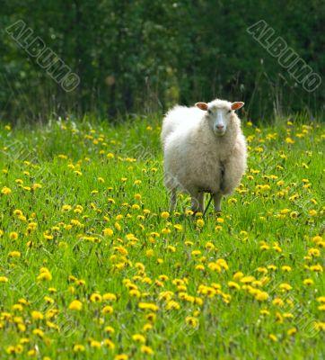 sheep in dandelion field