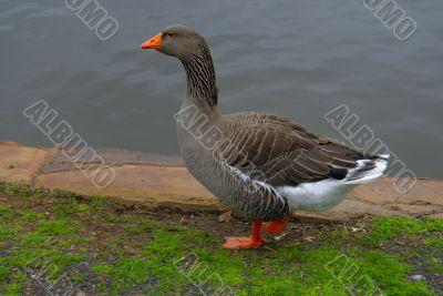 Duck Walking near a lake