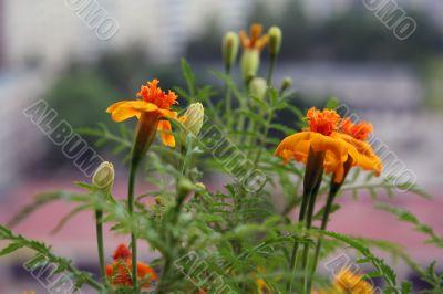 Orange small flowers