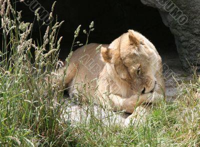 Lioness Licking her leg