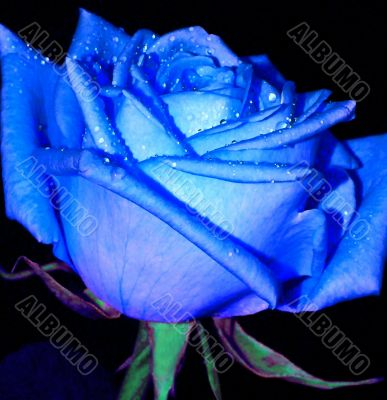 Blue rose with drop