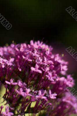 Valerian bouquet