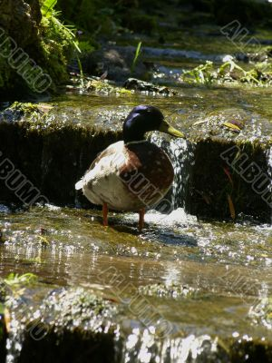Duck in Stream