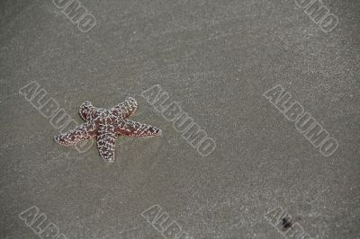 Purple - brown  starfish