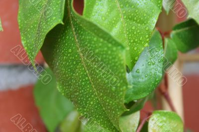 wet green leaf with water drops