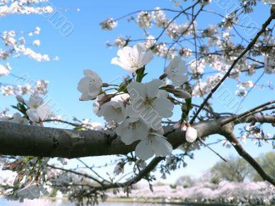 cherry blossoms 11 of Washington, DC