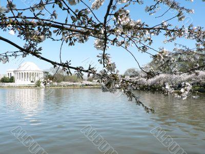 cherry blossoms 12 of Washington, DC
