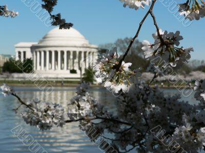 cherry blossoms 13 of Washington, DC