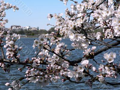 cherry blossoms 5 of Washington, DC