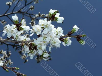 cherry blossoms of Washington, DC