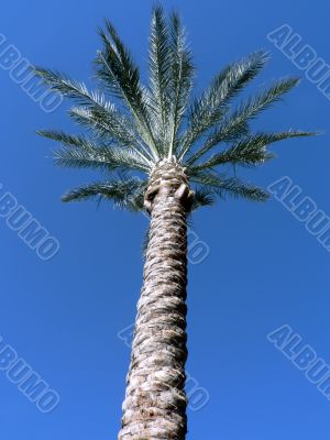 Arizona palm tree 2