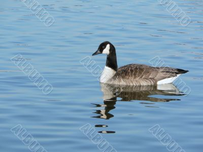canada goose floating