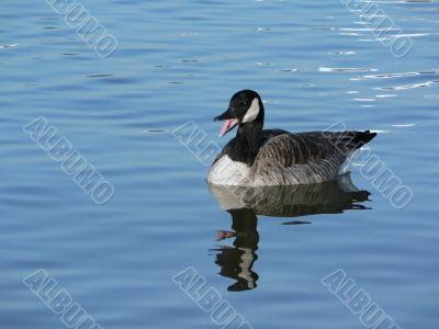 canada goose honking