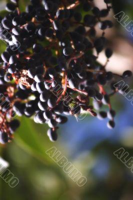 Berries in shadow