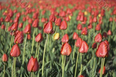 tulip field - shallow focus