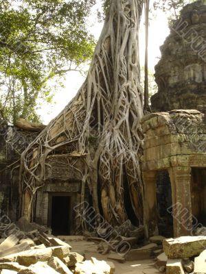 Banyan tree growing through ruins
