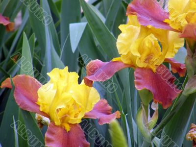 flower of an iris
