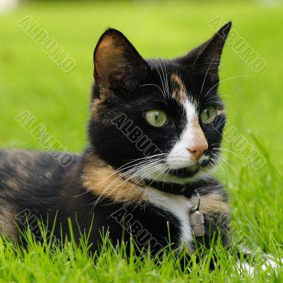 Domestic house kat