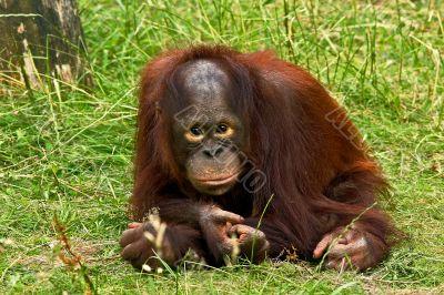 Ape, urang atang, boy ape,